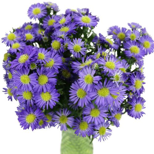 Violet Purple Spray Aster