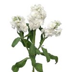 Bulk Stock Flower White