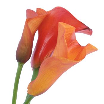 Mango Mini Calla Lily Bulk Flower