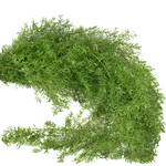 Wholesale greenery sprengeri fern bunch sold for delivery