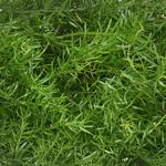 Wedding greenery sprengeri fern filler flower sold near me
