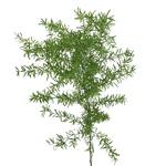 Single stem fresh cut sprengeri fern greens sold as bulk