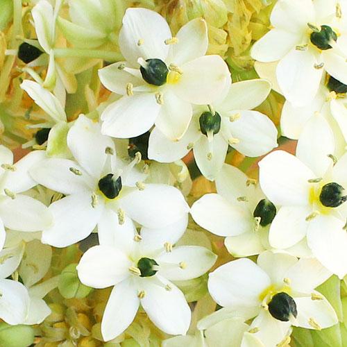 Arabacum Star of Bethlehem White Flower