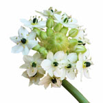 Ornithogalum White Star of Bethlehem