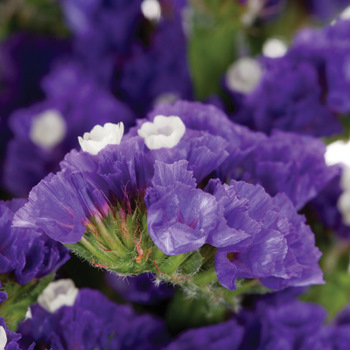 Tissue Culture Statice Purplish Blue Flower