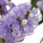 Wholesale Lavender Statice Flowers online