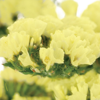 Tissue Culture Statice Yellow Flower