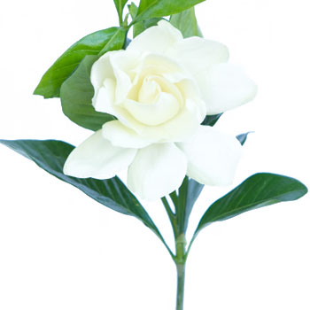 Gardenia Flowers with a Stem