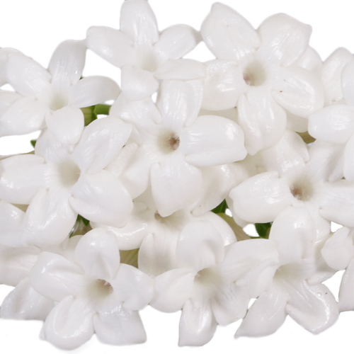 Bulk Stephanotis White Flower