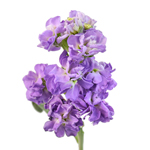 Purple_Stock_Flowers