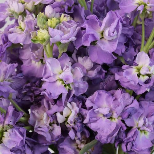 Stock Lavender Purple Flower