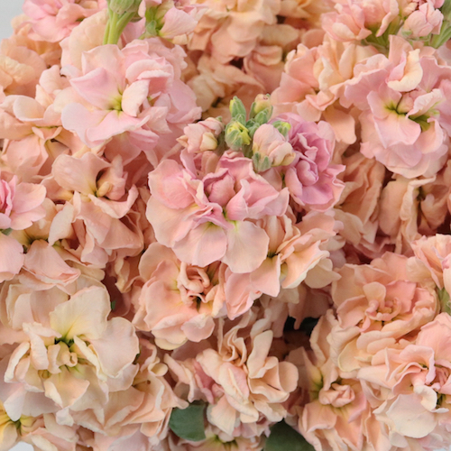 Stock Pinky Peach Flower