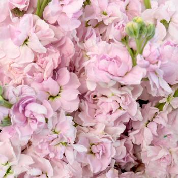 El Aleli Sweetheart Pink Flower