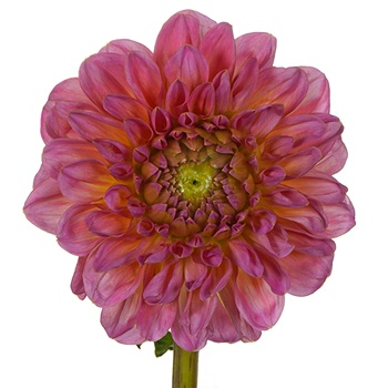 Strawberry Frost Dahlia Flower