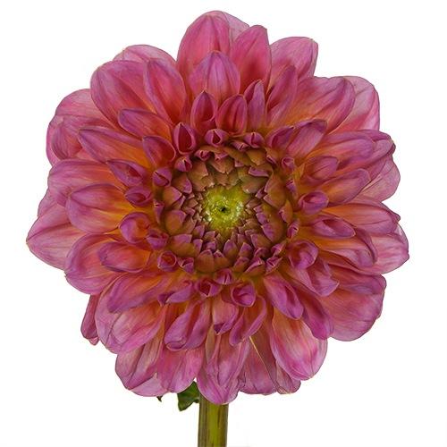 Strawberry Frost Dahlia Flower