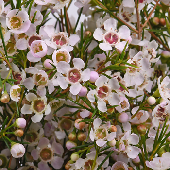 White Wax Flower December to May Delivery