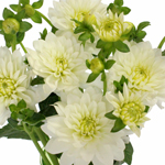 Dahlia Flower White