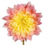 Dahlia Flower Burgundy