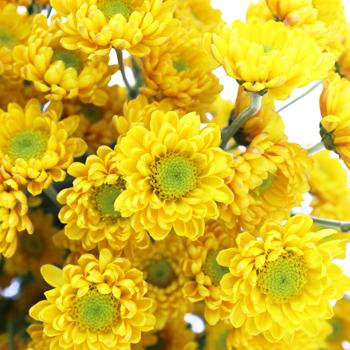 Sunny Puma Novelty Pom Yellow Flower