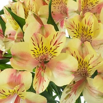Creamy Blush Alstroemeria Flower