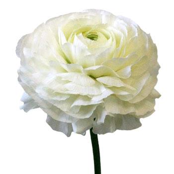 Super White Designer Japanese Ranunculus Flower