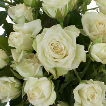 Super Green Petite Rose