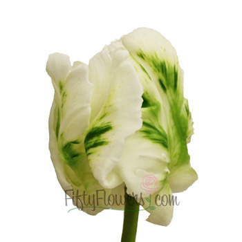 Mint Green Parrot Novelty Tulips