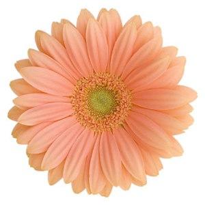 Coral Gerber Daisy Flower