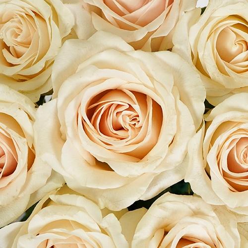 Slightly Nude Rose