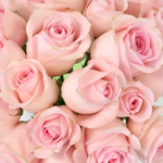 White Rose Fresh Cut