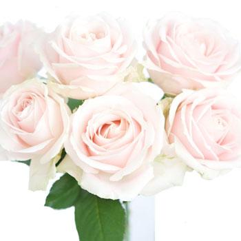 Hybrid Tea Rose Sweet Avalanche