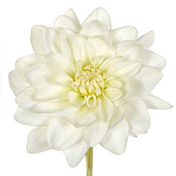 Elegant Creamy White Dahlia Flower