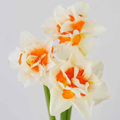 Orange Blossom Daffodil Flower