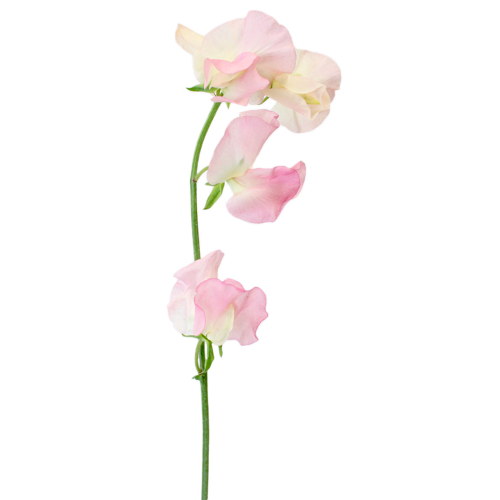 Sweet Peas Light Pink Flower April to July