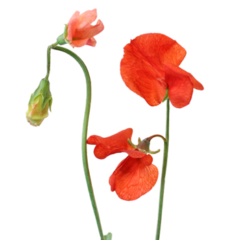 Sweet Pea Red Flower April to July
