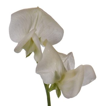 Sweet Pea White Flower April to July