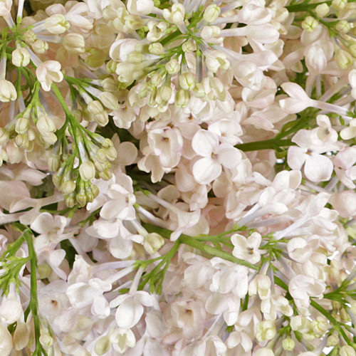 Maiden\'s Blush Lilac Flower
