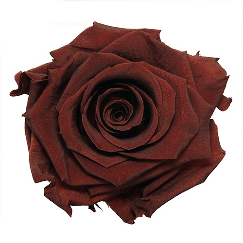 Preserved Garnet Red Rose