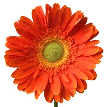 Tangerine Gerbera Daisy