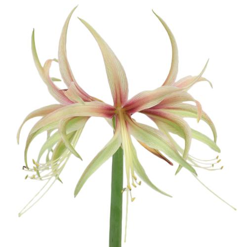 Tango Mini Amaryllis Flower