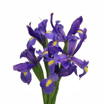 Iris Violet Blue Flower