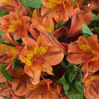 Terracotta Orange Peruvian Lily Flower Up Close