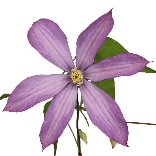 Thistle Pink Clematis Flower