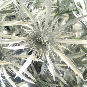 Thistle Silver Bulk Flower
