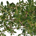 Fresh Cut Bulk Thyme Herb