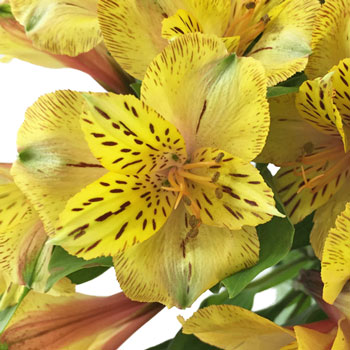 Tiger Stripe Peruvian Lilies