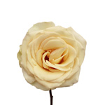 Cream Rose Timeless