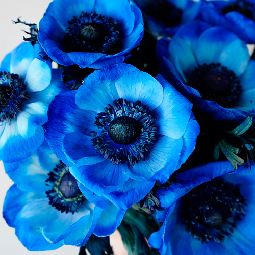 Blue Enhanced Anemone