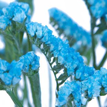 Statice Flower Malibu Blue Tinted
