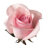 Titanic Light Pink Rose Stem